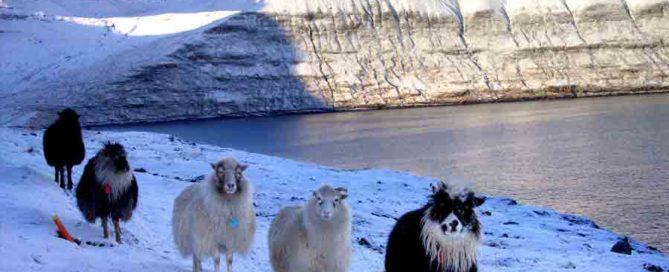 sheep,faroe islands